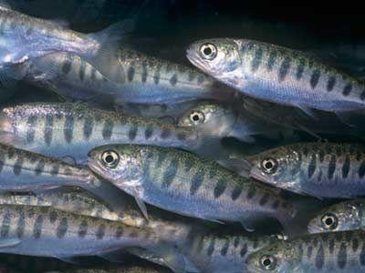 Fotografía - Cómo funciona el desove del salmón