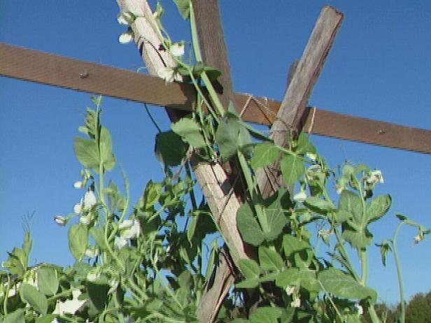 Fotografía - ¿Cómo construir un enrejado para los guisantes que crecen