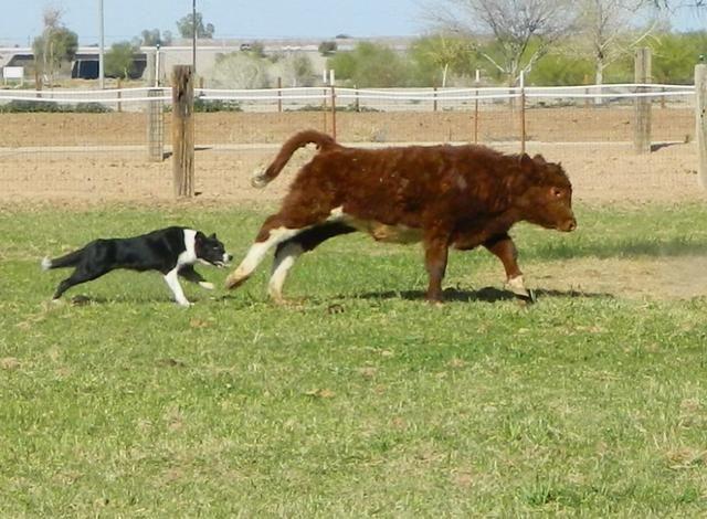 7 años del perro = 45 años humanos. Todo el mundo necesita un propósito en la vida, algo de trabajo por hacer. Sí esto significa perros también. Los perros de trabajo como este border collie que vivir para trabajar! Ellos ayudan a redondear para arriba stock.