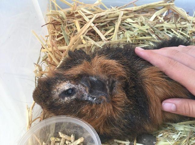Cómo cuidar a un enfermo Guinea Pig!