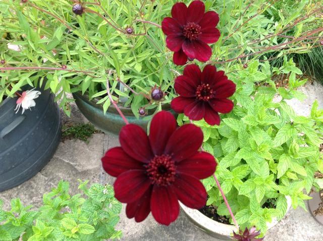Mientras que el punto de ebullición está pasando, me gusta el pop en el jardín y miro las flores, aquí está uno de mis favoritos