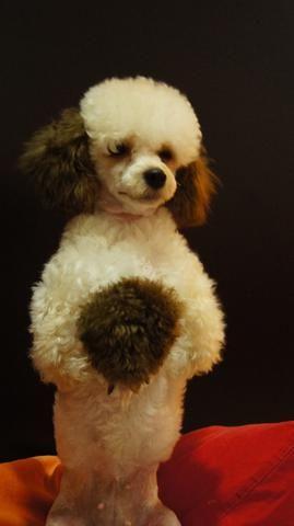 Enseñe a su perro a ponerse de pie con su nuevo corte de pelo y color ..... Y .....