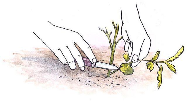 Consejos de crecimiento cortadas de la planta madre con un pequeño cuchillo afilado.