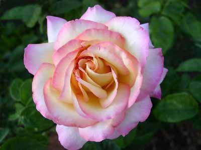 Cómo diseñar un jardín de rosas