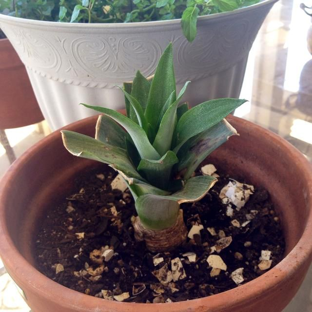 2 meses y medio de edad :) Como pasa el tiempo en Mantendré ustedes actualizados con la planta y qué esperar!