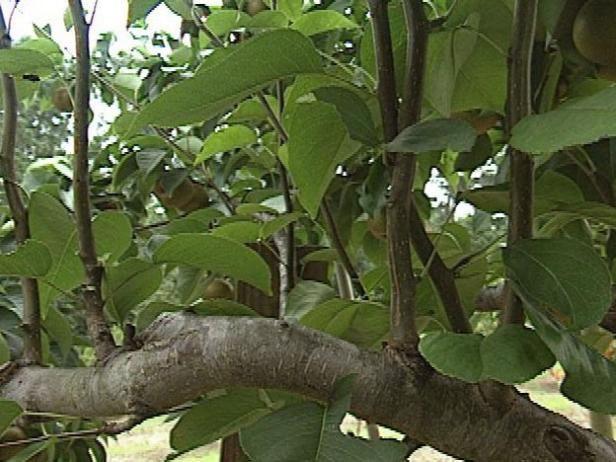En el primer año o dos después de haber sido plantado, perales requieren riego regular.