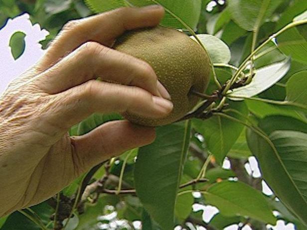 Espere hasta que el fruto está maduro antes de recoger.