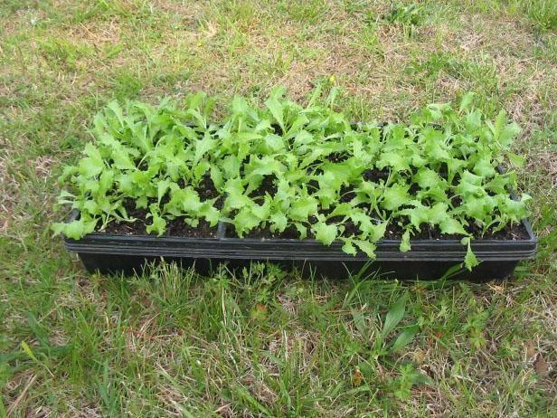 Cómo aclimatar sus plantas de semillero