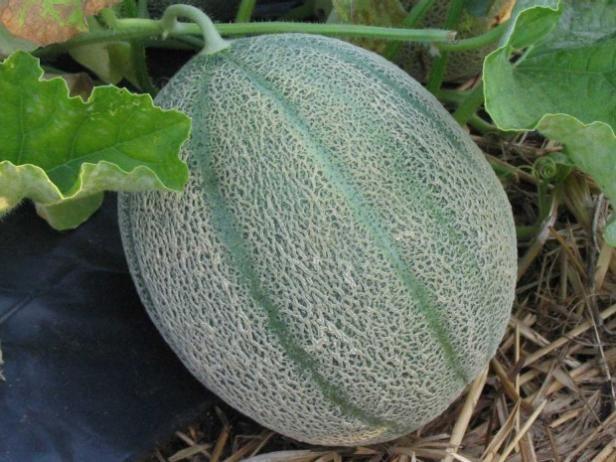 Elija melón semillas para plantar