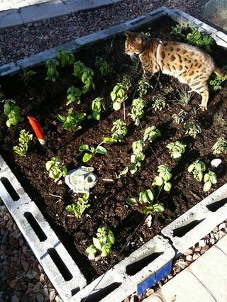 Añadir las hierbas como el romero, estragón y albahaca y / o verduras como acelgas. Planta de lo que te gusta y lo que crece bien en su cuello de los bosques. Aquí puede ver mi gato mordisqueando las cebolletas.