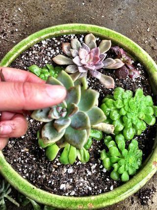 Entonces me planté algunos esquejes Echeveria llenar el jardín plato.