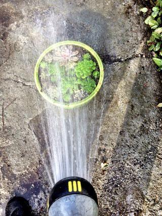 Darle un chorro suave de agua para enjuagar la suciedad de las plantas suculentas.