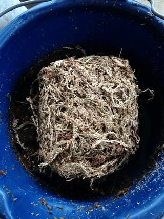 Humedezca su Sphagnum Moss.