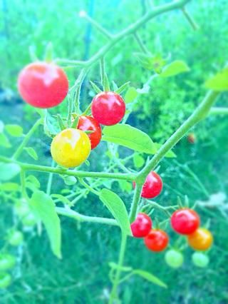 Ahora para la ensalada de rúcula. Yo utilicé Recién elegido tomates cherry