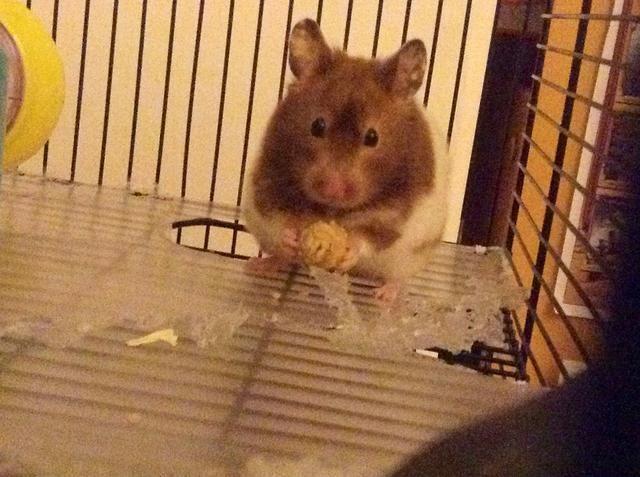 Mi hámster comiendo una delicia casera !! Ella realmente los ama.