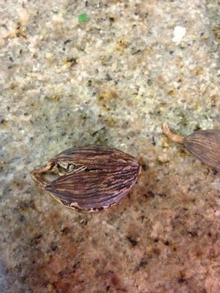 Falafel de preparación: semillas de cardamomo y -Eliminar desmenuzará. Ello's the third most expensive spice in the world behind saffron and vanilla.