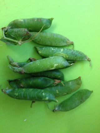 Pod guisantes. Ya está's no better pea taste than a fresh garden pea!