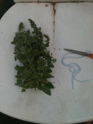 Cortar la planta con unas tijeras para que tenga largos tallos de la hierba gatera. Tenga en cuenta que tendrá que cortar más de lo que cree que necesita, ya que la planta va a secarse y encogerse.