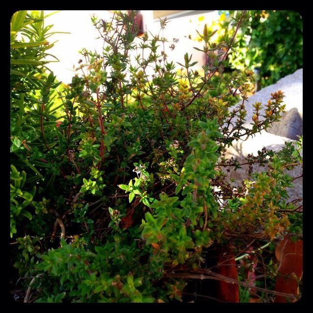 Me encanta mi jardín de hierbas !!! Este es mi tomillo.