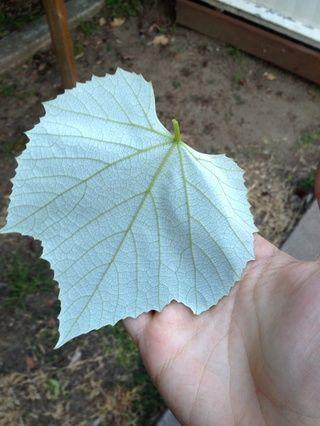 Empezar a recoger las hojas. El más suave, mejor.
