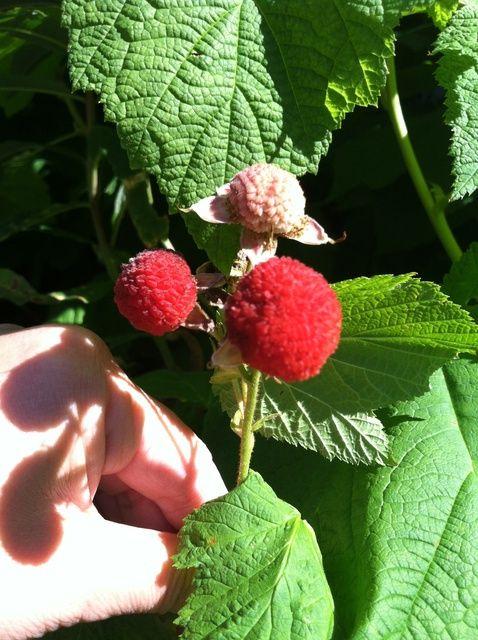 Cómo hacer Thimbleberry Jam Receta