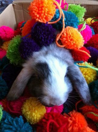 Usted puede dejar que su conejo mascota jugar con los pompones o utilizar para casi cualquier cosa. Mira siguiente paso para ver a mi uso para ellos.