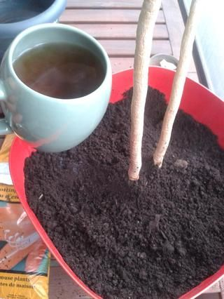Desde una planta recién trasplantado necesita mucha agua para ayudar con el choque del nuevo entorno, añadí mi té enfriado. Así como el agua.
