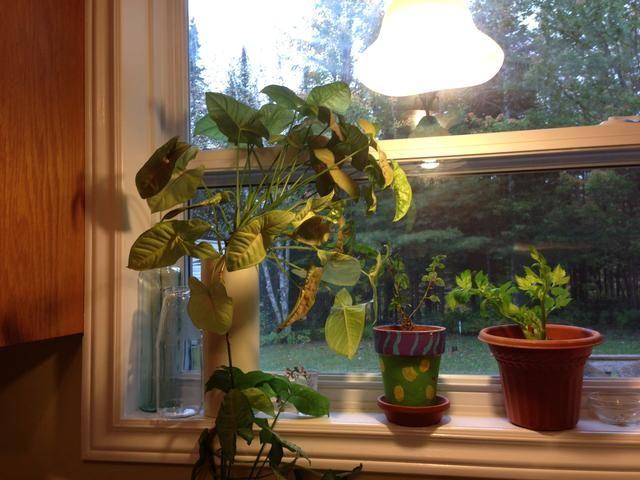 Plantas en la repisa de la ventana ... una idea inteligente y sus plantas de luz amorosa te lo agradecerán. Además, un paisaje más agradable si le sucede que tiene un montón de vecinos!