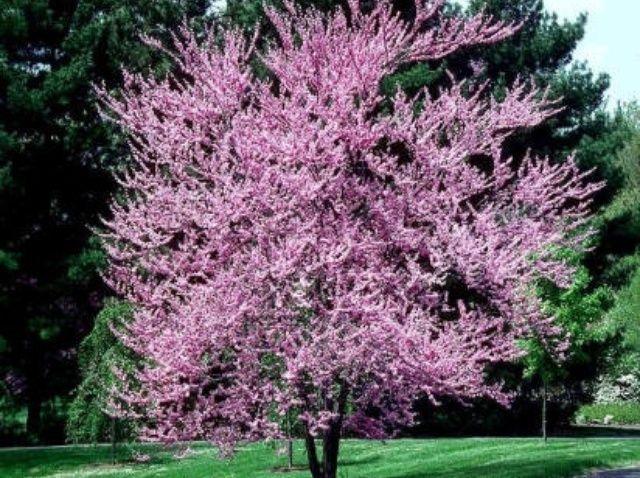 Fotografía - Cómo plantar un árbol de Redbud de Texas
