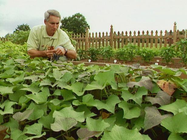 Usted puede plantar diferentes tipos de guisantes en su jardín.