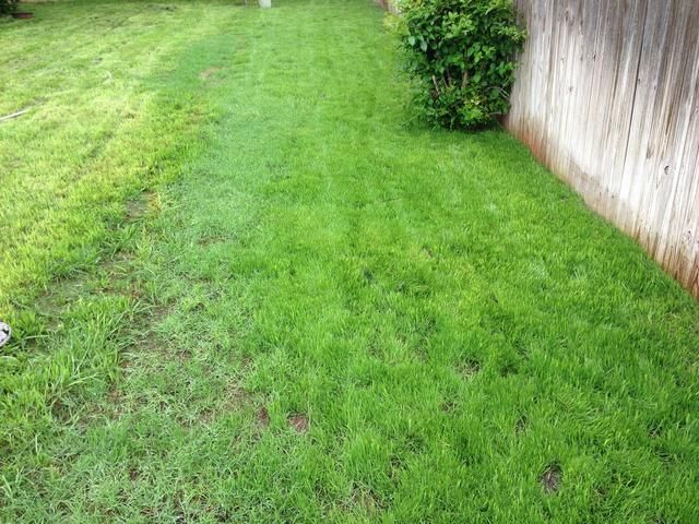 Antes de que te des cuenta, tu parche solitaria de tierra estará llena de hermosa hierba festuca.
