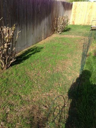 El agua como se describe en la diapositiva anterior una vez al día hasta que la hierba alcanza la madurez.