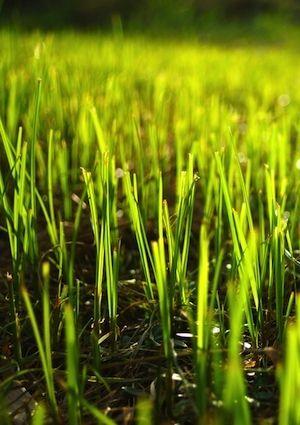 Cómo plantar la semilla de la hierba - Detalle