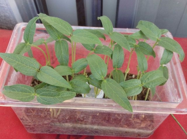Cómo plantar frijoles mungo