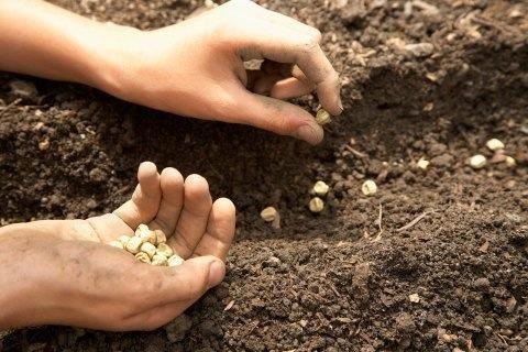 Plante sus semillas de frijol mungo y regarlas.