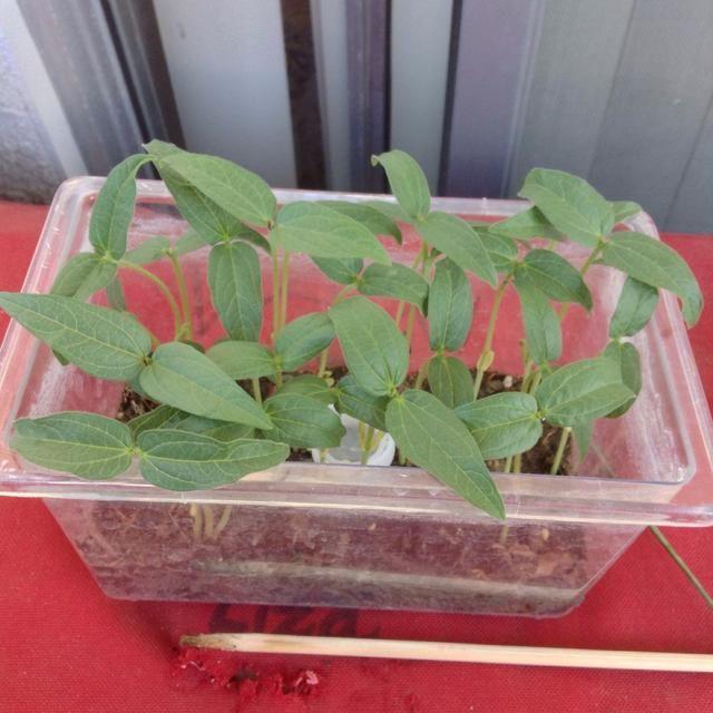 Estos han estado creciendo durante casi una semana. Y van a crecer mucho y tienen semillas.