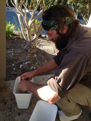 Conchas limpias: mejillones salvajes se cubren a menudo con pequeños mejillones, percebes, anémonas y mucho más! Una manera fácil de limpiar estas fuera es simplemente frote mejillones uno contra el otro.