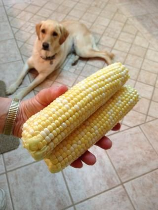 Solíamos dejar que Molly comer una mazorca despojado cálido y ella los ama, pero un veterinario nos advirtió, (y busqué en Google aún más) que las mazorcas de maíz son peligrosos potencialmente por obstruir su tracto digestivo!