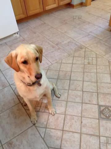 Molly se queda cerca cuando el maíz está fuera. Nosotros ahora solo le damos este pequeño punta después de aprender toda una mazorca puede ser peligroso. http://dogcare.dailypuppy.com/can-dogs-eat-corn-cob-2189.html