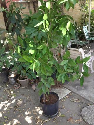 Este corte arraigado era más grande y tenía que ser replanteada para la ayuda. Disfrute de su nuevo árbol!