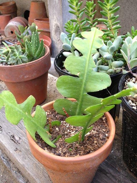 Cómo propagar Cactus y suculentas Esquejes