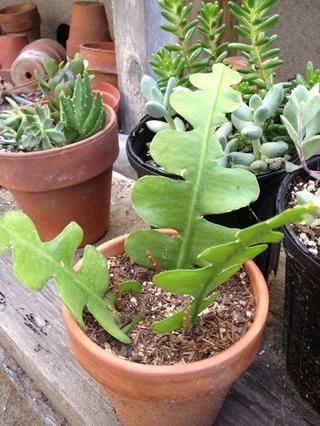 Hacer lo mismo. Deje que el corte insensible una y planta en el Cactus macetas Mix.