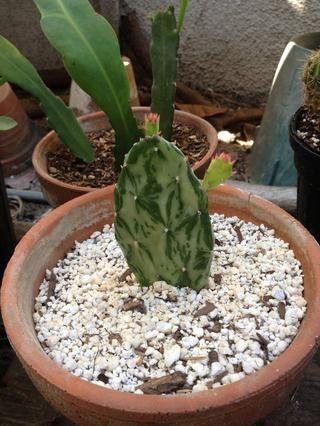 El agua con moderación y el lugar en la luz brillante, indirecta, hasta nuevas formas de crecimiento. Nuevo crecimiento significa nuevas raíces. ??????