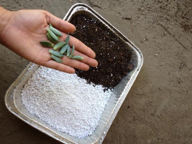 Reúna sus suministros. Yo uso una mezcla 50/50 de Cactus tierra para macetas y perlita. Se puede utilizar cualquier recipiente para iniciar a los bebés. Yo prefiero usar moldes para pasteles de aluminio.