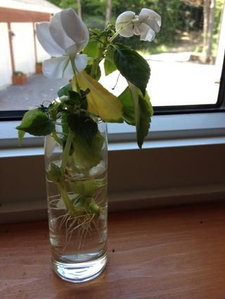 Obtener un buen sistema radicular establecida antes de plantarlos en el suelo.
