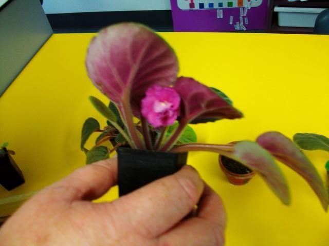 En primer lugar usted necesita tomar la violeta africana del suelo y separar las hojas
