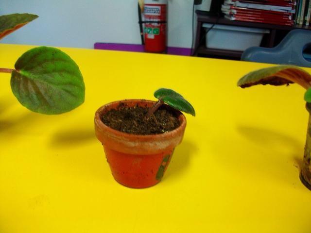 Luego se colocará una de las hojas en la mezcla para macetas fresca