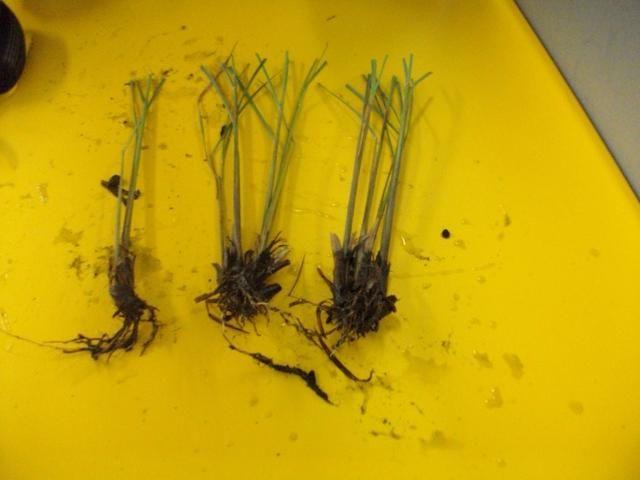 He aquí un ejemplo de lo que la hierba de limón debe ser similar después de haber separado y se recorta por la planta