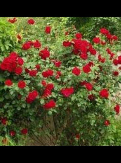 Fotografía - Cómo podar las rosas en el otoño y la primavera