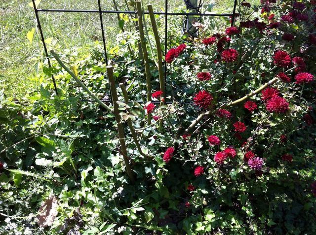 Rose arbusto debe ser similar a estos pequeños palos tristes allí de pie a través de mi hiedra y las mamás. ..Por supuesto yo'm sure!